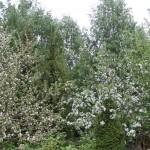 Omenat ja kirsikat aloittelevat kukkimistaan.