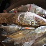 Matti Luostarinen, Cluster art, Fishes